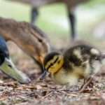 What Do Baby Ducks Eat? (How To Feed These Cuties)