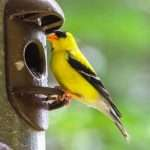 What Do Goldfinches Eat? (And Ways To Attract Them)