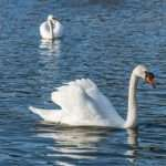 What Do Swans Eat? (7 Foods To Feed These Beautiful Birds)