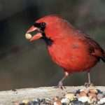 What Do Cardinals Eat? (How These Awesome Red Birds Survive)