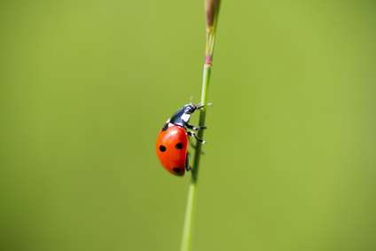 What Do Ladybugs Mean? (Amazing Beetles: A History)