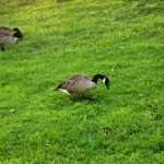 What Do Wild Geese Eat?